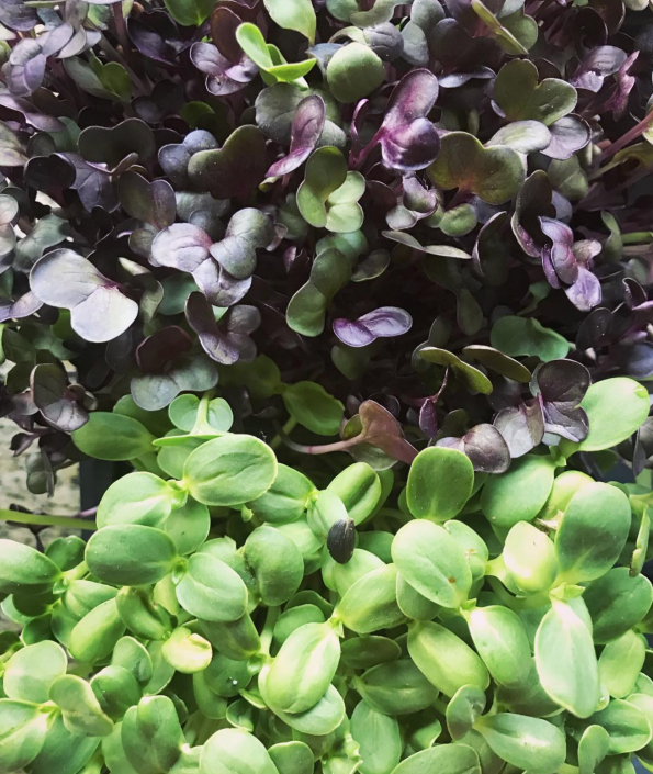 south coast microgreens